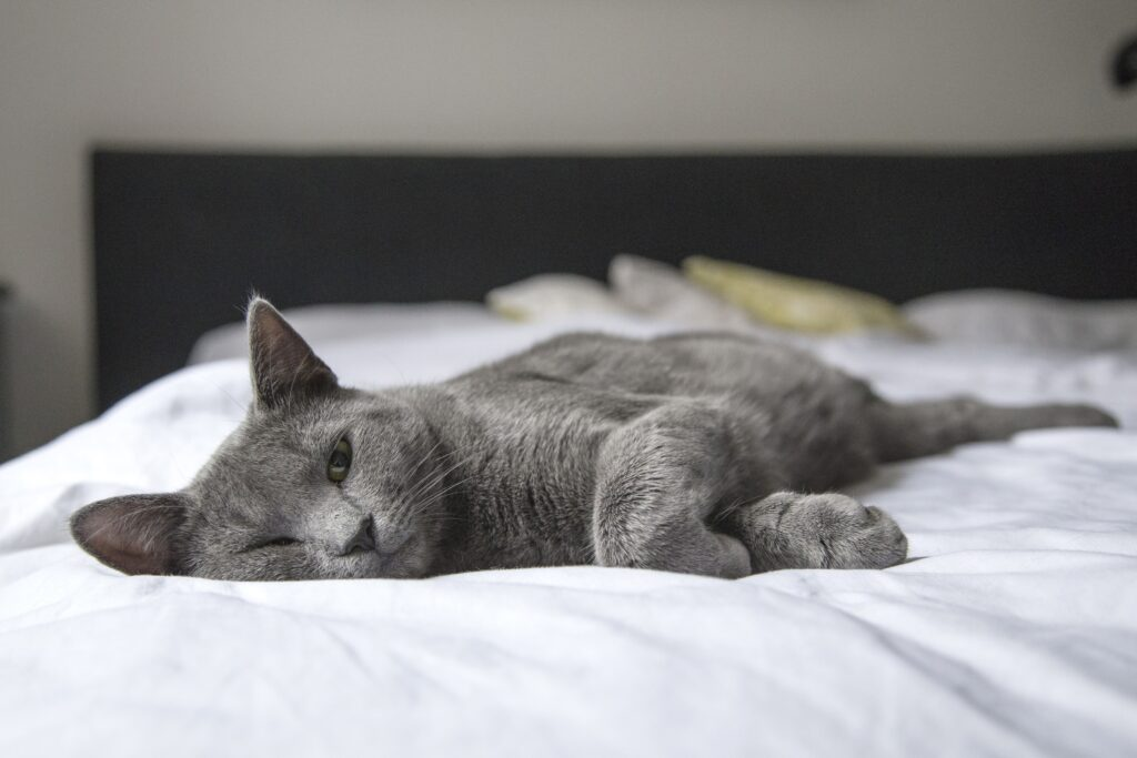 Gray cat with one eye open on white bed not morning person